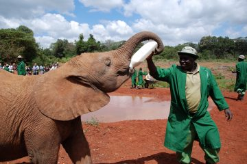 One of the most popular sights in Nairobi, the Sheldrick Wildlife Trust