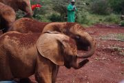 Elephants in one of the most popular sights in Nairobi, the Sheldrick Wildlife Trust
