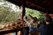 Feeding giraffes in one of the most popular sights in Nairobi, the Sheldrick Wildlife Trust