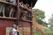 Rothschild's giraffe in one of the most popular sights in Nairobi, the Giraffe Centre