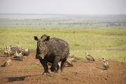 Rhino in Nairobi National Park