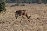Antelope in Nairobi National Park
